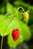Macro of strawberry Stock Photography