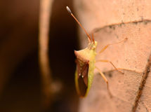 Macro Striped Shield Bug Or Stink Bug Royalty Free Stock Photography