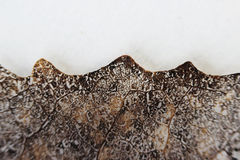 Macro structure brown delicate skeletonized leaf of Populus tremula.  royalty free stock photography