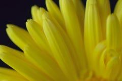 Macro struttura dei petali gialli del fiore isolati nel fondo nero fotografia stock