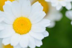 Macro struttura del fiore della margherita bianca in giardino immagine stock