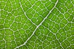 Macro struttura del fondo verde della foglia dell'alloro Fotografia Stock Libera da Diritti
