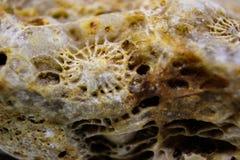 Macro struttura della struttura dei coralli oceanici fossilizzati fotografia stock