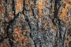 Macro struttura di un pino montano fotografia stock libera da diritti
