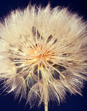 Macro studio big dandelion on dark background. stock image