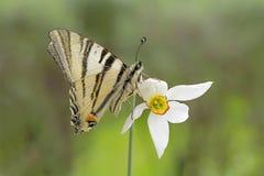 Macro su della farfalla scarsa di coda di rondine Fotografie Stock Libere da Diritti