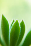 Macro of a Succulent plant. With blurred background royalty free stock photo