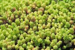 Macro of succulent plants. Stock Photo