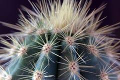 Macro succulente del cactus con struttura chiara e la colonna Fotografie Stock Libere da Diritti