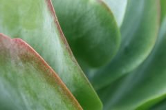 Macro succulente della pianta Immagini Stock