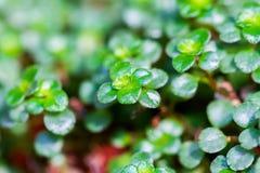 Macro succulente della pianta Fotografia Stock Libera da Diritti