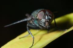 Macro sulla mosca con priorità bassa bianca Fotografia Stock Libera da Diritti
