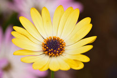 Macro Summer background of yellow Daisy flower in horizontal frame Royalty Free Stock Images