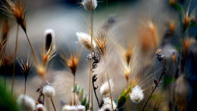 Macro summwer flora. Summer dried out wild wheat and weeds Royalty Free Stock Photos