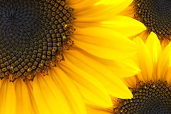 Macro of sun flower Royalty Free Stock Image