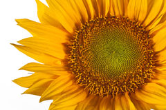 Macro sunflower Stock Image