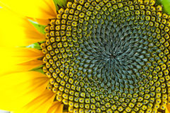 Macro of sunflower Royalty Free Stock Image