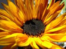 Macro of sunflower. Sunflower sunset Royalty Free Stock Image