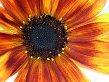 Macro of sunflower. Sunflowern sunset Stock Photo