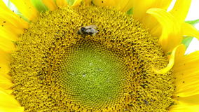 Macro sunflower bloom and bumblebee bee collect pollen stock video footage