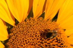 Macro of sunflower and bumblebee Royalty Free Stock Photos