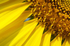 Macro of Sunflower Royalty Free Stock Photography