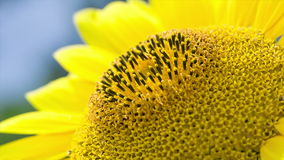 Macro. Sunflower lit by the sun. stock video