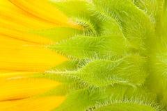 Macro of  sunflower Royalty Free Stock Photography