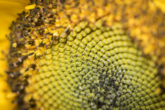Macro of a sunflower pollen Stock Photography