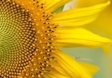 Macro of sunflower Stock Photos