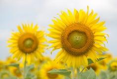 Macro of sunflower Royalty Free Stock Photo