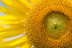 Macro of sunflower Royalty Free Stock Photos