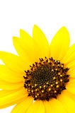 Macro of Sunflower on white background Royalty Free Stock Image