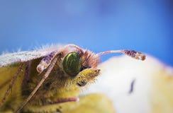 Macro superbe de beau papillon vert photo libre de droits
