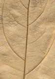 Macro-superficie otoñal de la hoja Fotografía de archivo