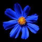 Macro surreale blu della primula del fiore isolata Fotografia Stock