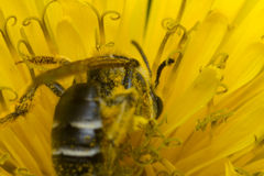 Macro Sweat Bee royalty free stock image