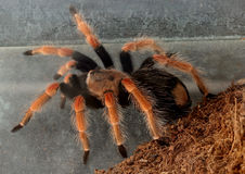 Macro tarantula spider on the ground Royalty Free Stock Images