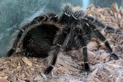 Macro tarantula spider on the ground Royalty Free Stock Image