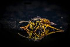 MACRO tedesca della vespa Fotografia Stock Libera da Diritti