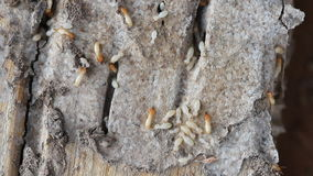 Macro of termites on a plank of wood. Stock Photos
