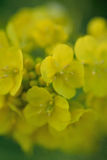Macro testure of yellow canola flowers in vertical frame Royalty Free Stock Images