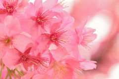 Macro texture of blooming pink Japanese Cherry Blossoms stock photo