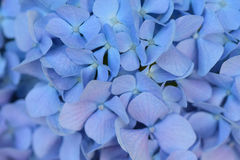 Macro texture of blue colored Hydrangea flowers Royalty Free Stock Photography