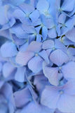 Macro texture of blue colored Hydrangea flowers Stock Images