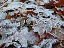 Macro texture de fond de photo des feuilles brunes congelées du chêne Image stock