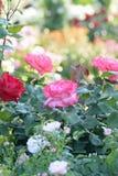 Macro texture des pétales roses de fleur de Rose Photos libres de droits