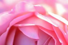 Macro texture des pétales roses de fleur de Rose Image libre de droits
