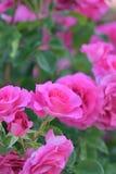 Macro texture des pétales roses de fleur de Rose Images libres de droits