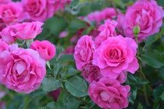 Macro texture des pétales roses de fleur de Rose Photo stock